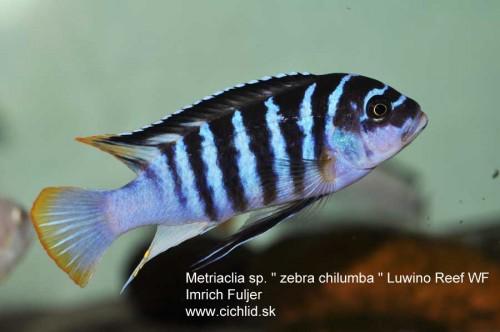 Metriaclima-zebra-Chilumba-Luwino-Reef-(99).jpg