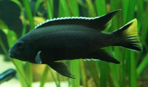 Pseudotropheus sp. Acei Black.jpg