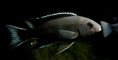 Pseudotropheus sp. acei Ngara.jpg