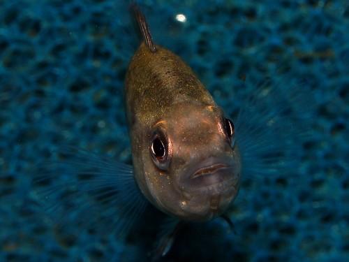 Parachromis dovii (3).jpg