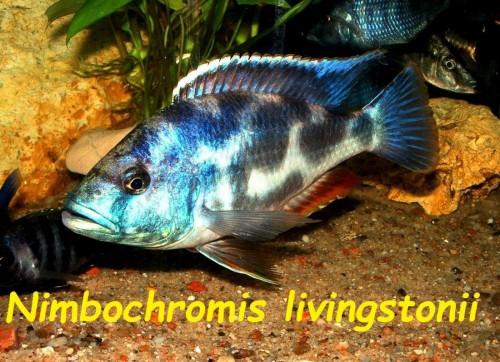 Nimbochromis livingstonii.jpg